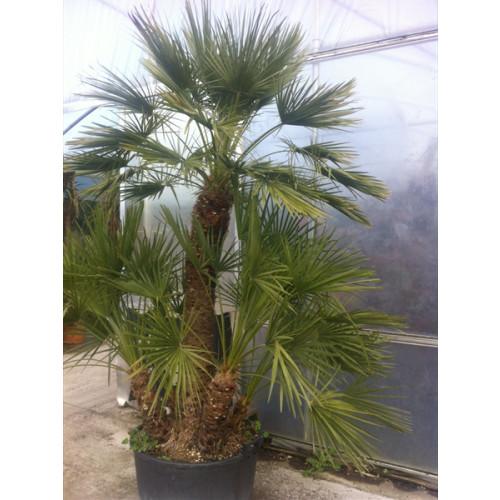 Chamaerops Humilis Fan Palm 180cm/6ft including pot height
