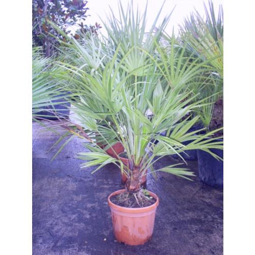 Chamaerops humilis Fan Palm 90cm / 3ft including pot height