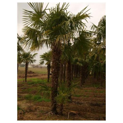 Trachycarpus Fortuneii Chusan Palm 490cm / 16ft including pot height (Trunk 255cm - 8ft 6in)