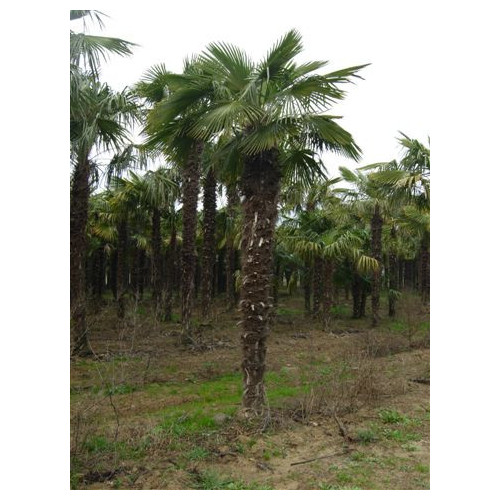 Trachycarpus Fortuneii Chusan Palm 520cm / 17ft including pot height (Trunk 275cm - 9ft)
