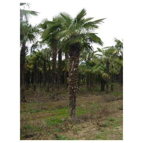 Trachycarpus Fortuneii Chusan Palm 520cm / 17ft including pot height (Trunk 275cm - 9ft)