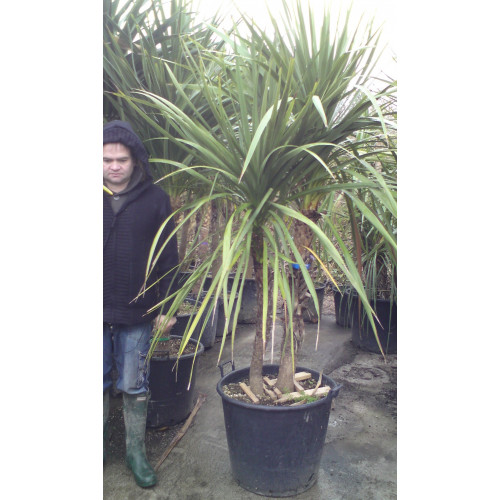 Cordyline Australis Cabbage Palm 210 - 225cm / 7 - 7ft 6in double stem including pot height