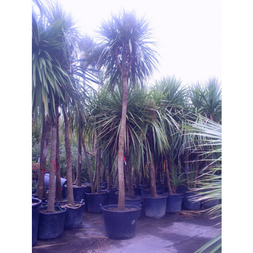 Cordyline Australis Cabbage Palm 410- 430cm /13ft 6in- 14ft single stem including pot height