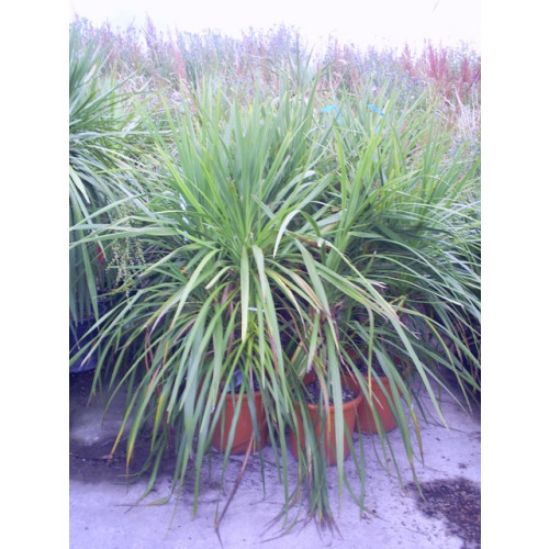 Cordyline Australis Cabbage Palm 150cm / 5ft Single Stem including pot height