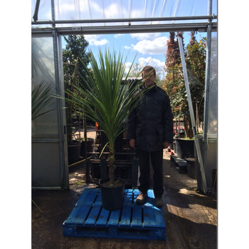 Cordyline Australis Cabbage Palm 180 -210cm / 6ft - 7ft including pot height