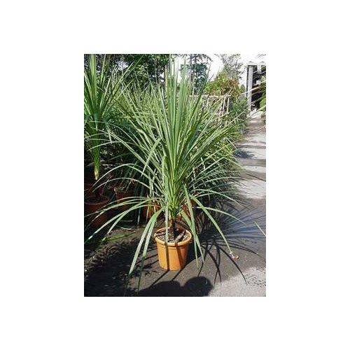 Cordyline Australis Cabbage Palm 165  / 5ft 6in  single stem including  pot height