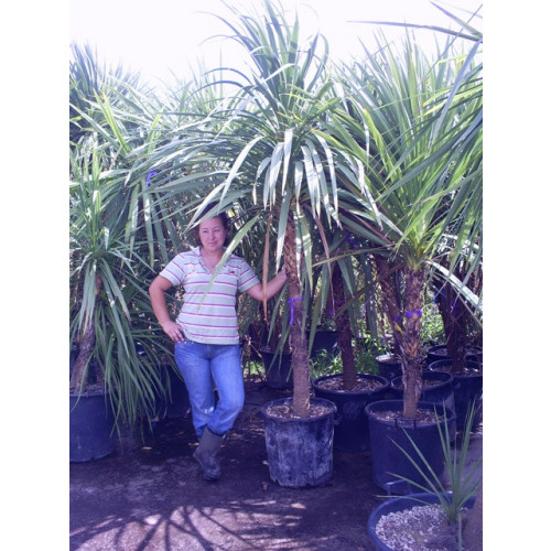 Cordyline Australis Cabbage Palm 255 - 275cm / 7 feet 6 inches -8 feet Single Stem including pot height