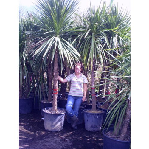 Cordyline Australis Cabbage Palm 300cm / 10ft Single Stem including pot height