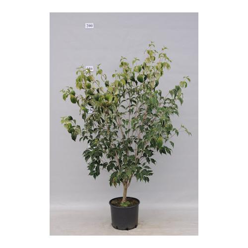 Cornus Kousa Chinensis 5 feet High