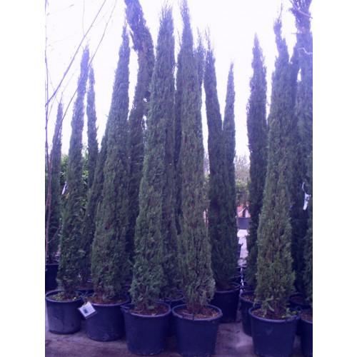 Italian Cypress (Cupressus Sempervirens Pyramidalis) 11-12ft inc pot height