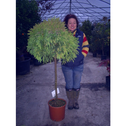 Cryptomeria japonica 165cm / 5ft 6in including pot height