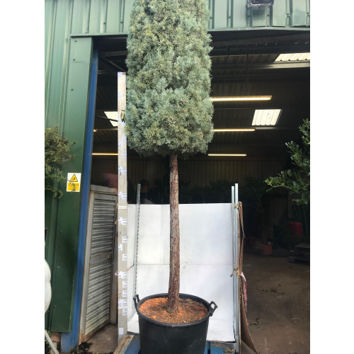 Cupressus Arizonica Fastigiata Cylinder on 200cm Stem, 25/30cm girth, 350cm/ 11ft 6in total height including pot