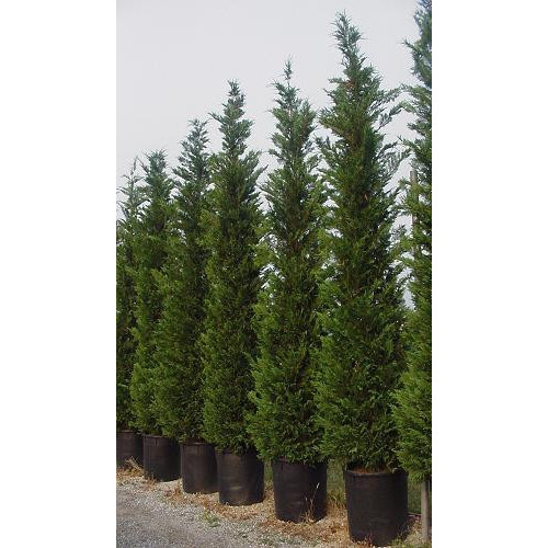 Leylandii Green Large 16ft 6in - 17ft 6in Feet High Plant Height