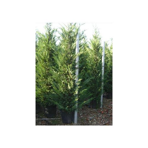 Leylandii Green Large 11 -12ft High Plant Height
