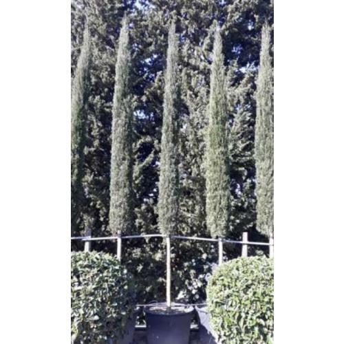 Italian Cypress Tree (Cupressus Semp. Pyramidalis) Std 18-20cm Stem Girth