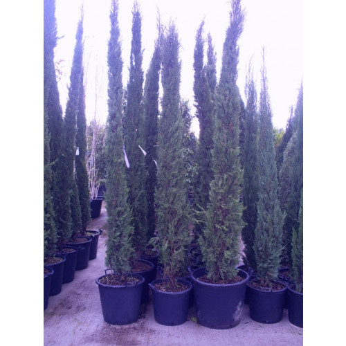 Italian Cypress (Cupressus Sempevirens Pyramidalis) 10ft - 300cm inc pot height