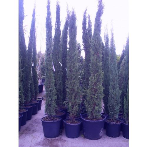 Italian Cypress (Cupressus Sempevirens Pyramidalis) 10ft - 300cm inc pot height
