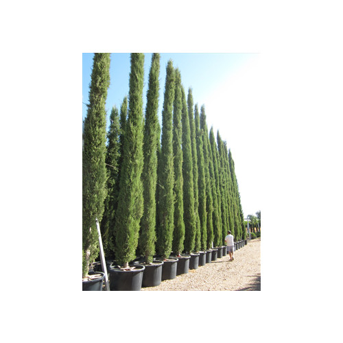 Italian Cypress (Cupressus Sempevirens Pyramidalis) 9 Meters 30 Feet