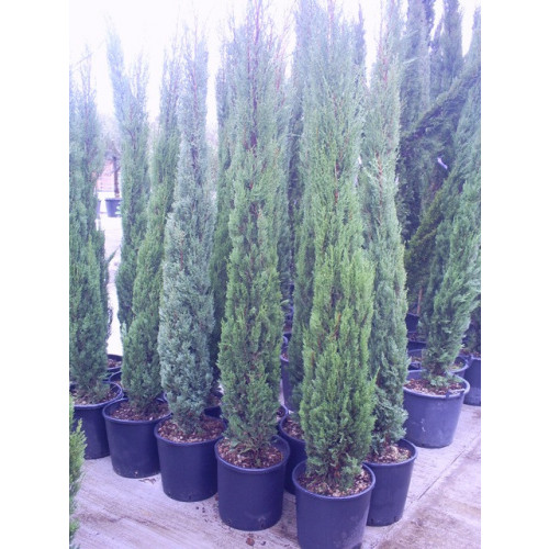 Italian Cypress (Cupressus Sempervirens Pyramidalis)  6 - 7ft inc pot height