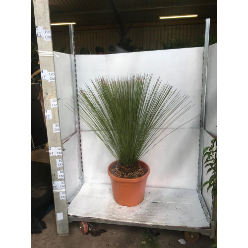 Dasylirion Longissimum (Mexican Grass Tree) 130cm tall including pot