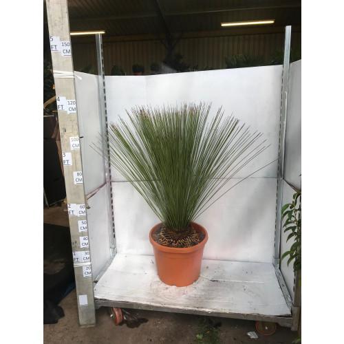 Dasylirion Longissimum (Mexican Grass Tree) 130cm tall including pot