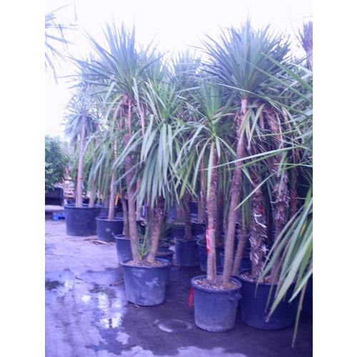 Cordyline Australis Cabbage Palm 300cm / 10ft  double Stem including pot height