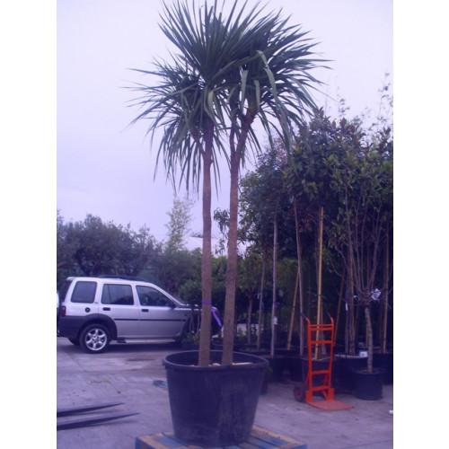 Cordyline Australis Cabbage Palm 430cm / 13ft  double stem Multi Head including pot height