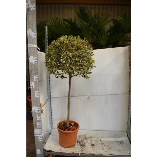 Variegated Holly standard 1m clear stem 60cm head diameter
