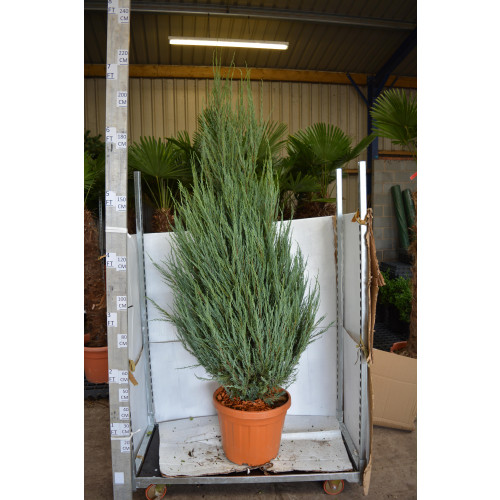 Juniperus 'Blue Arrow' 220cm / 7ft tall including height of the pot