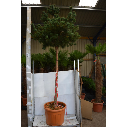 Pinus Parv. Pentaphylla Galuca 180cm stem, 20/25cm girth, 300cm/10ft total height including pot