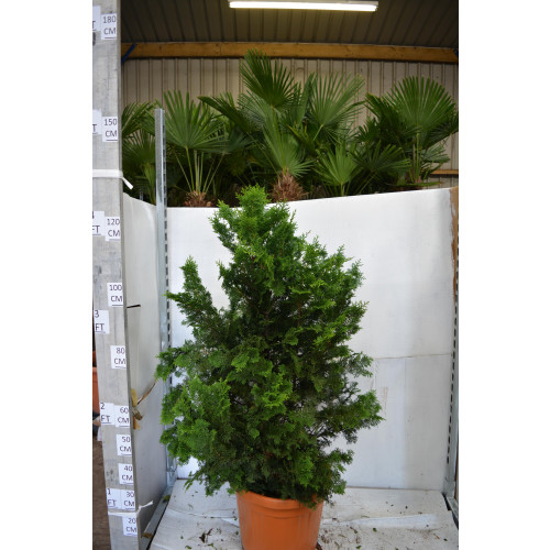 Chamaecyparis Obtusa Nana Gracilis 130cm tall including height of the pot