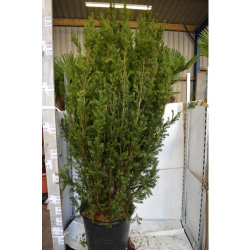 Taxus Baccata Fastigiata 'Robusta' 210cm/7ft including pot