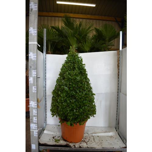 Viburnum Tinus Cone 130cm including height of the pot