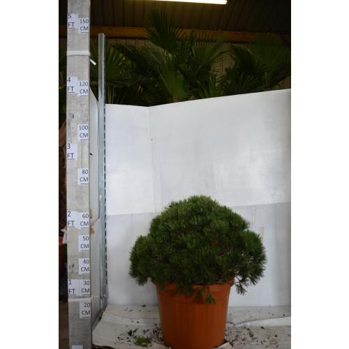 Pinus 'Mungo Mops' 70cm tall including pot, 60/70cm diameter