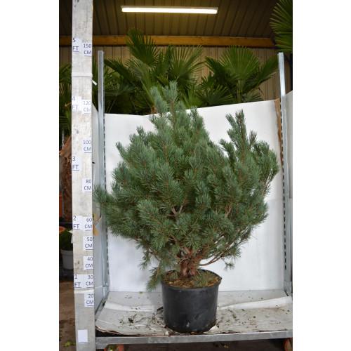 Pinus Austriaca Nana 130cm including pot height
