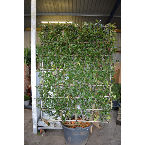 Photinia Red Robin Screening Panel, frame 200cm tall x 150cm wide, 240cm total height including pot