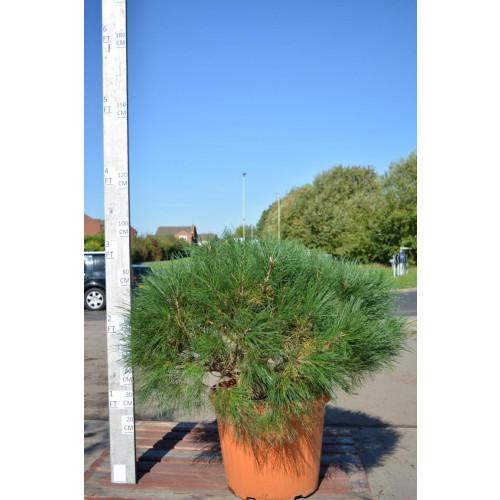 Pinus Sylvestris Nana-Watereri Ball Diameter 60-80cm, total height 100cm including pot