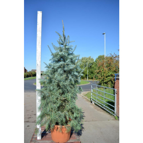 Abies Concolor 275cm/9ft including height of the pot