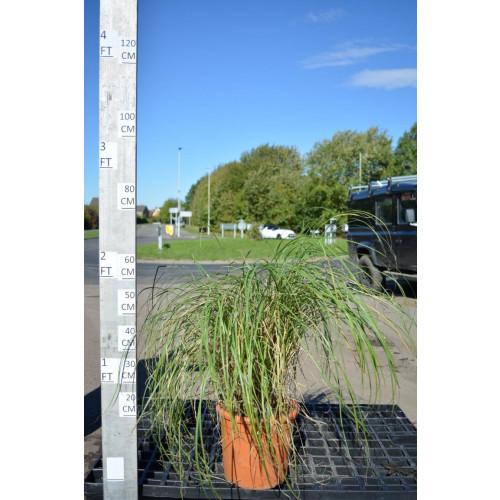 Miscanthus Sinesis Gracillimus 10lt 60cm tall including pot
