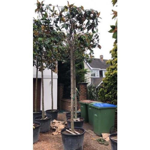 Pleached Magnolia Grandiflora, 220cm Stem, 20/25cm Girth, 180cm x 120cm Frame