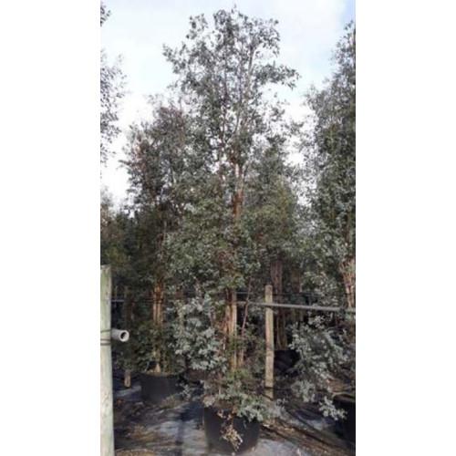 Eucalyptus Gunii 400-500cm Planted Height