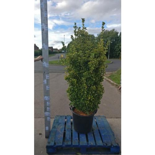 Euonymus japonicus 'Aureus' 180cm/6ft including pot height