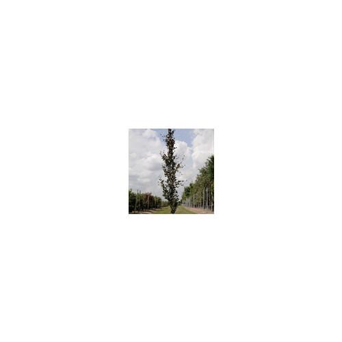 Beech (Fagus Sylvatica) 'Dawyck Purple' 10-11 feet  feathered