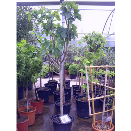 Fig standard 6ft 6in - 7ft (Ficus Carica) inc pot height