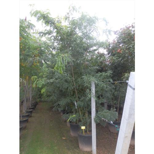 Gleditsia Triacanthos Sunburst 400-450cm 13 feet, 110lt pot, 3 stem