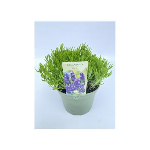 Lavender Hidcote 5L pot