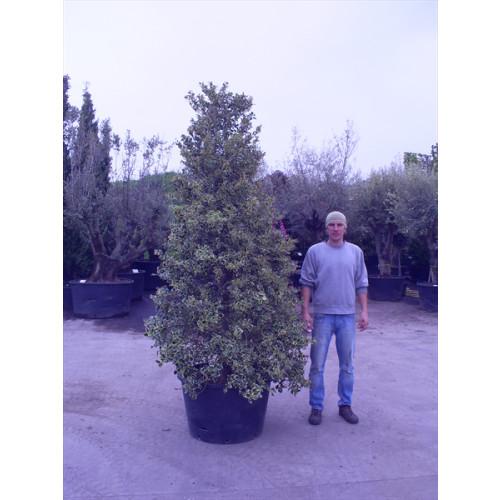 Ilex aquifolium 'Variegata' (variegated Holly) 10ft including pot height