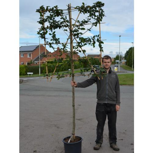 Hornbeam Carpinus Betulus 1.2 Metre Clear Stem 10/12cm girth 120cm x 120cm Trellis