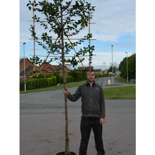 Hornbeam Carpinus Betulus 1.5 Metre Clear Stem 8/10cm girth 140cm x 120cm Trellis - SOLD OUT - TAKING ORDERS FOR END OF JUNE