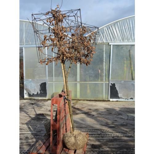 Hornbeam Carpinus Betulus 1.5 Metre Clear Stem 60x60x60cm cube